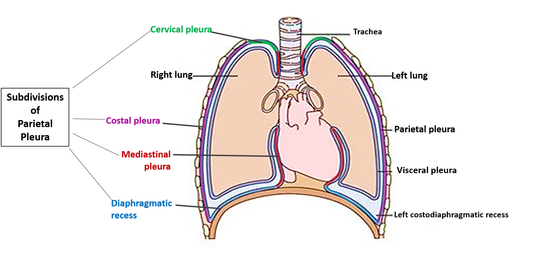 Pleura And Pleural Recesses together with Mediastinum 25993031 additionally Suprapleural membrane also Hemothorax together with 3898326. on pleura of thoracic cavity