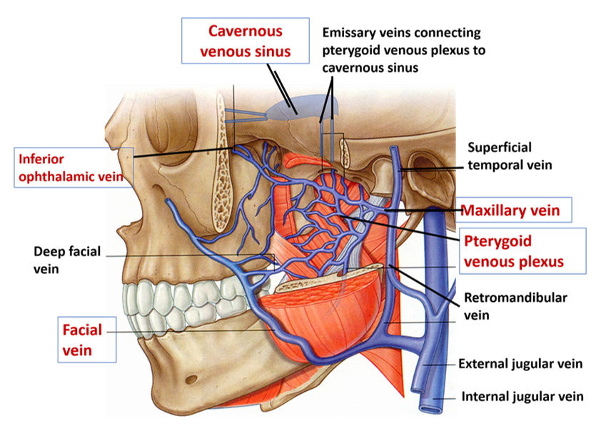 Pteryygoid Venous Plexus - Tributaries and Connections-