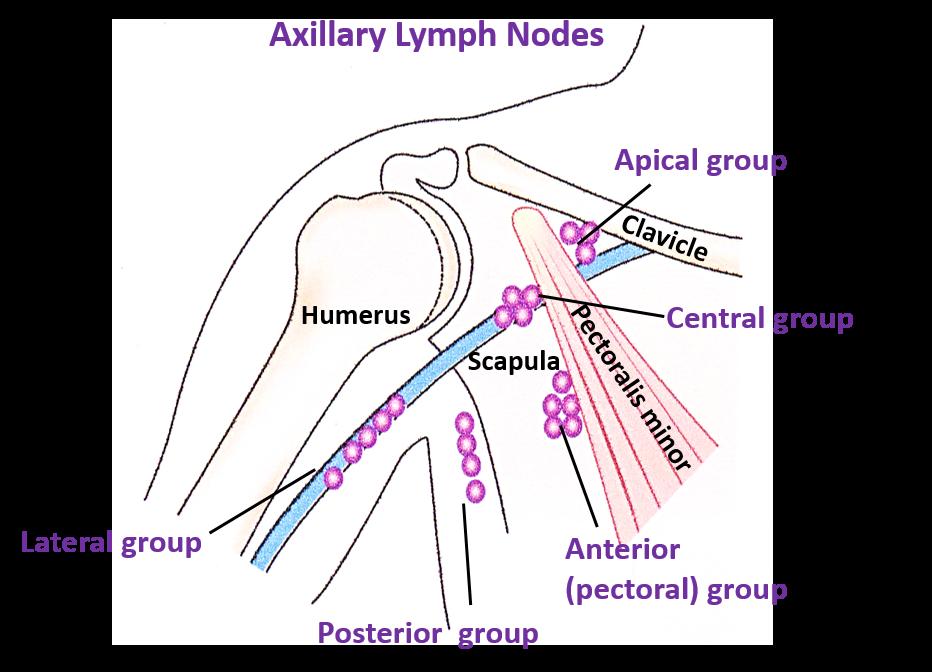 Anatomy of axillary lymph nodes