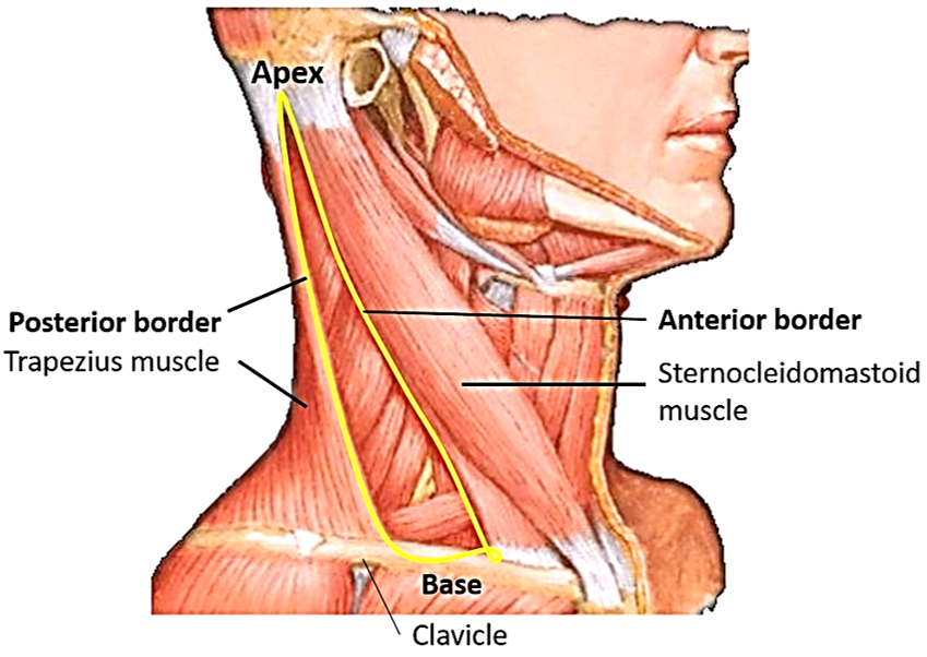 Posterior Triangle of Neck -