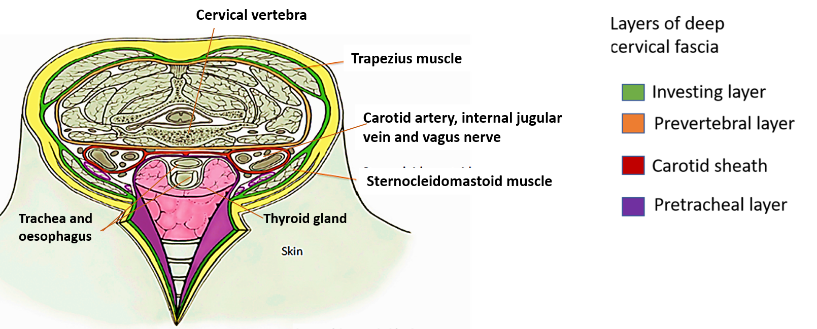 Deep Cervical Fascia Preverterbral Pretracheal Layers And Carotid