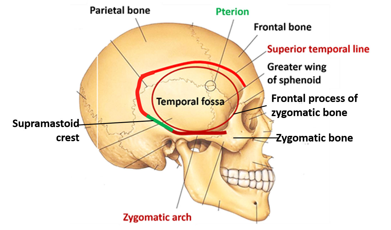 Temporal Fossa Boundaries And Contents