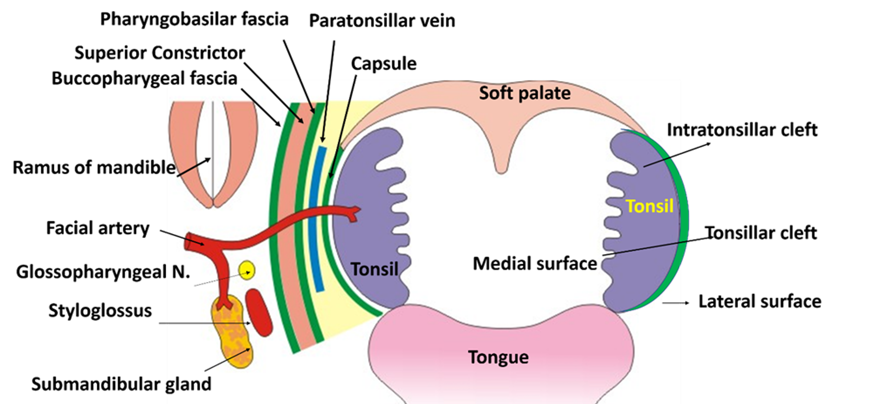 Luxury Anatomy Of The Tonsil Image Collection - Physiology Of Human ...