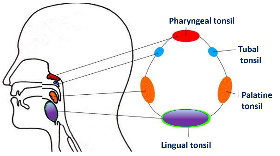 Palatine Tonsil Relations Blood Supply Waldyers Ring