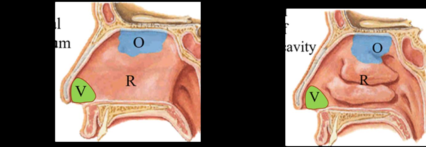 Nasal Cavity - arterial supply and nasal meatuses and chonchae-