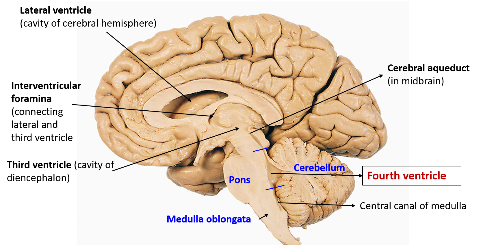 Fourth Ventricle - Boundaries, floor, communications, recesses and ...