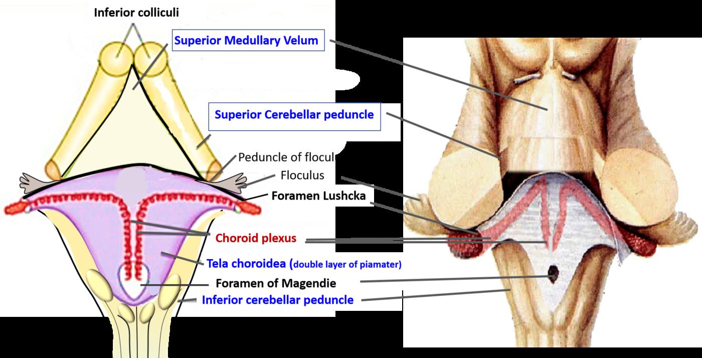 Fourth Ventricle Anatomy Qa