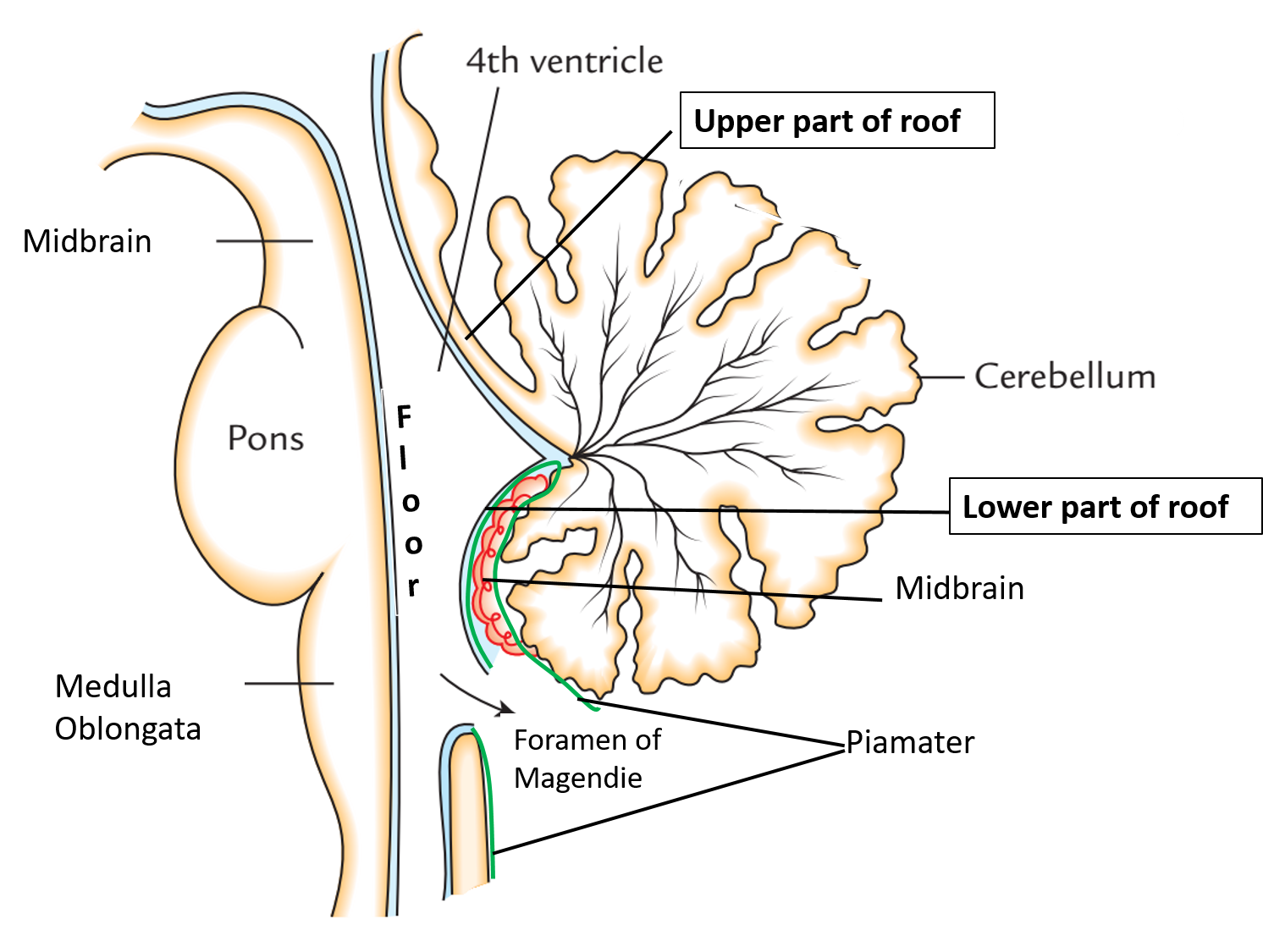 Picture9 anatomy qa for Floor of 4th ventricle