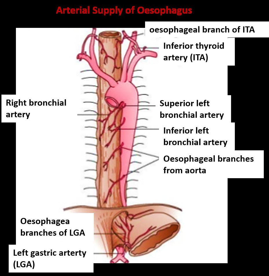Anatomy trachea esophagus