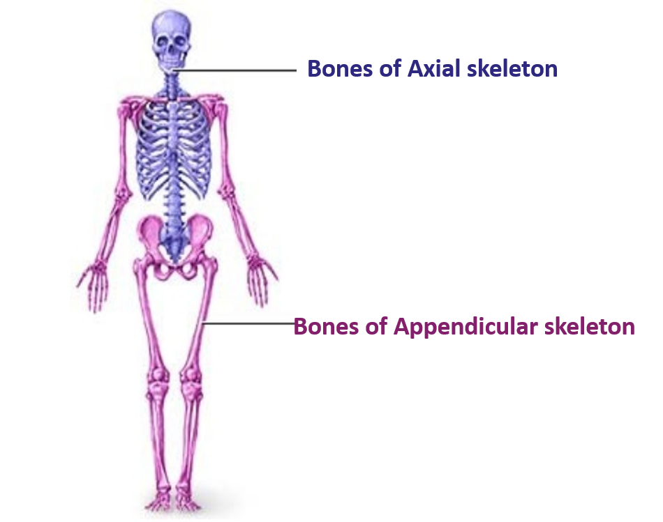 Anatomy Appendicular Skeleton Image collections - human body anatomy