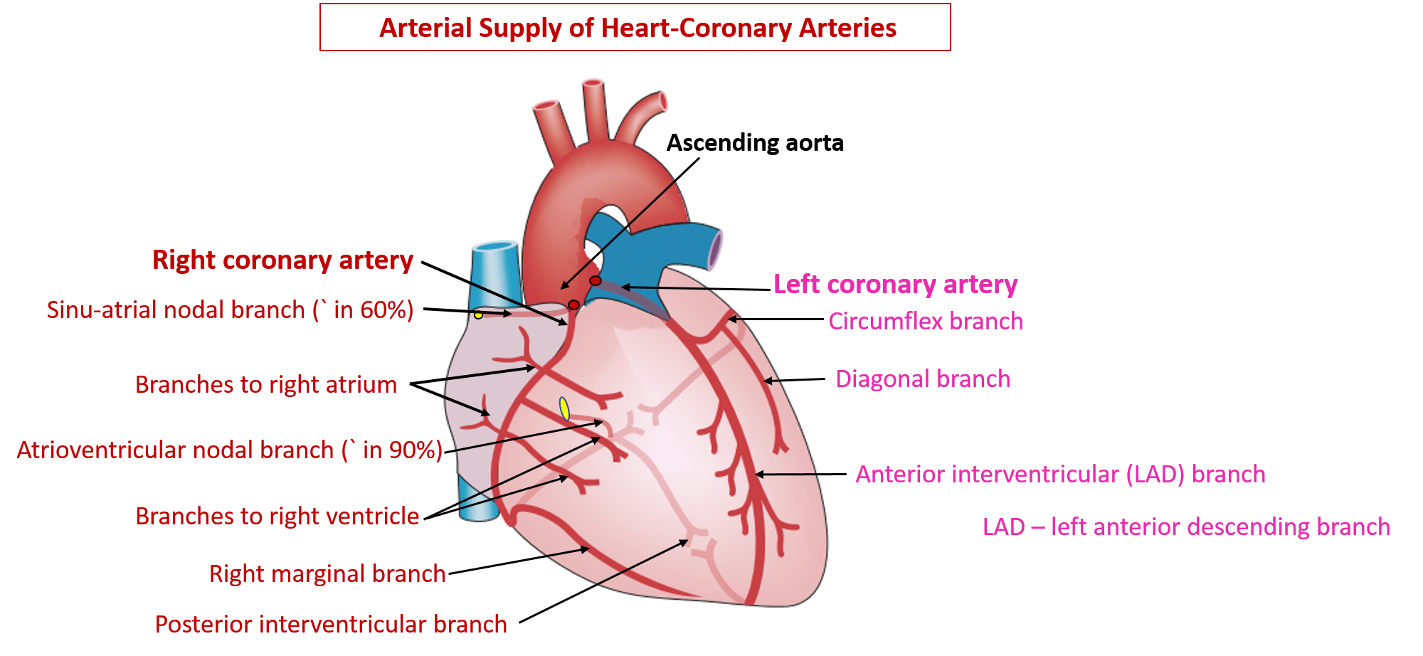 Coronary artery anatomy pictures