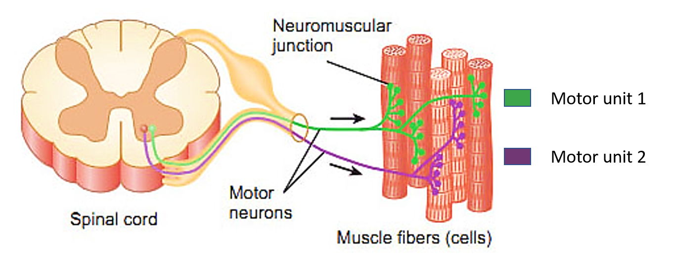 questions on muscles Ch 6 the muscular system notes lisa peck muscular system: consists of skeletal muscles and their connective tissue attachments organ- skeletal muscle.