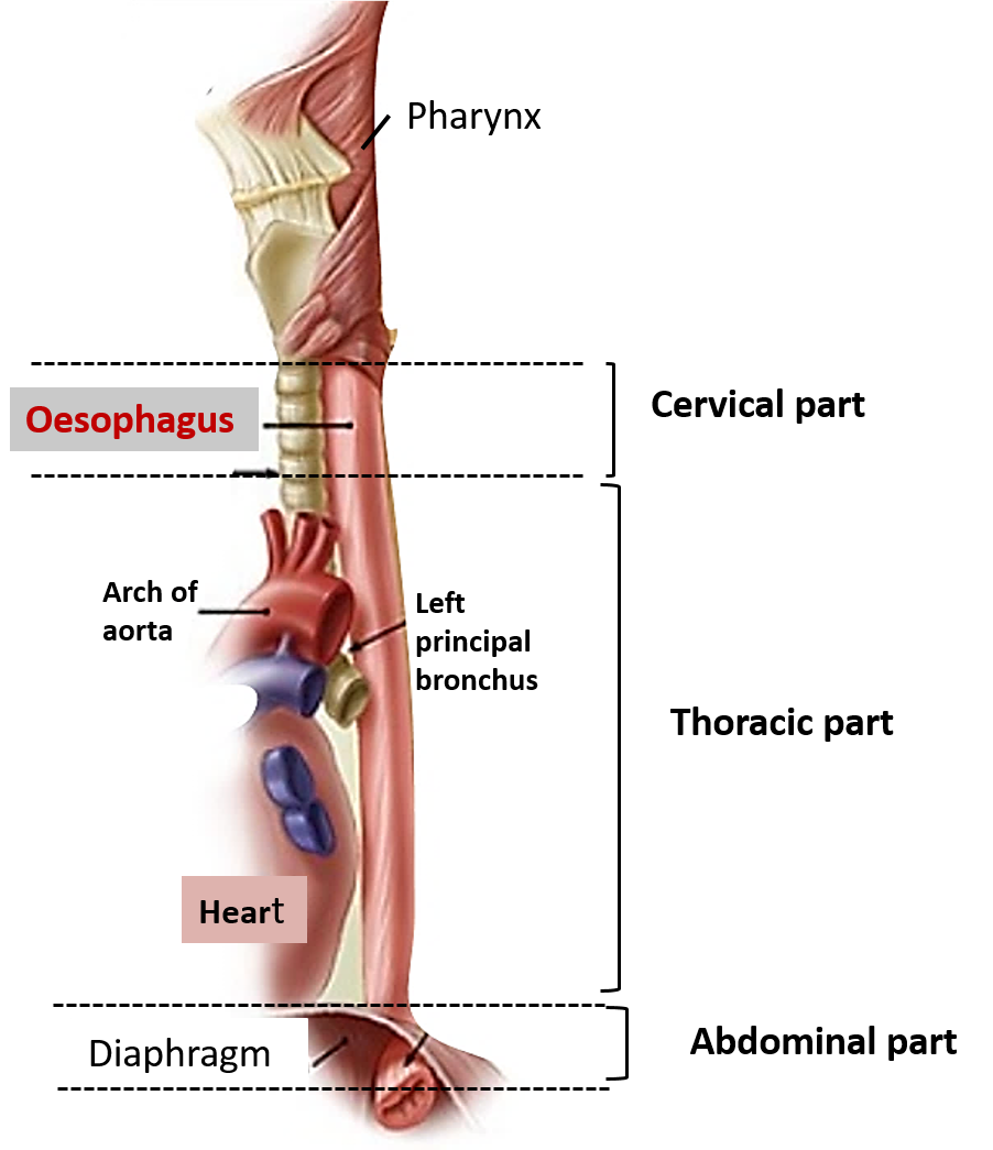 Oesophagus Sites Of Constrictions Arterial Supply And Venous