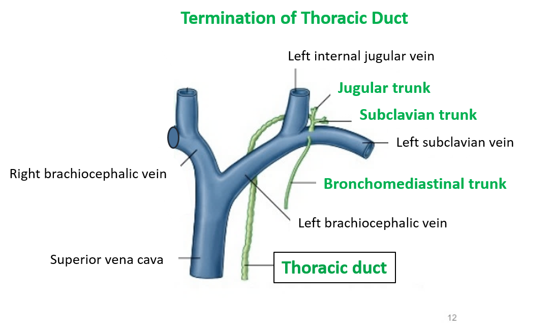 Anatomy of thoracic duct