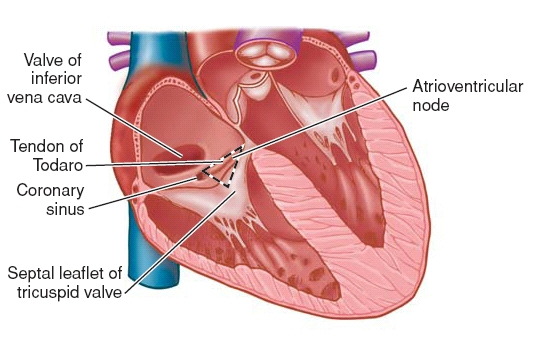 Blood Supply and Conducting System of Heart Anatomy QA