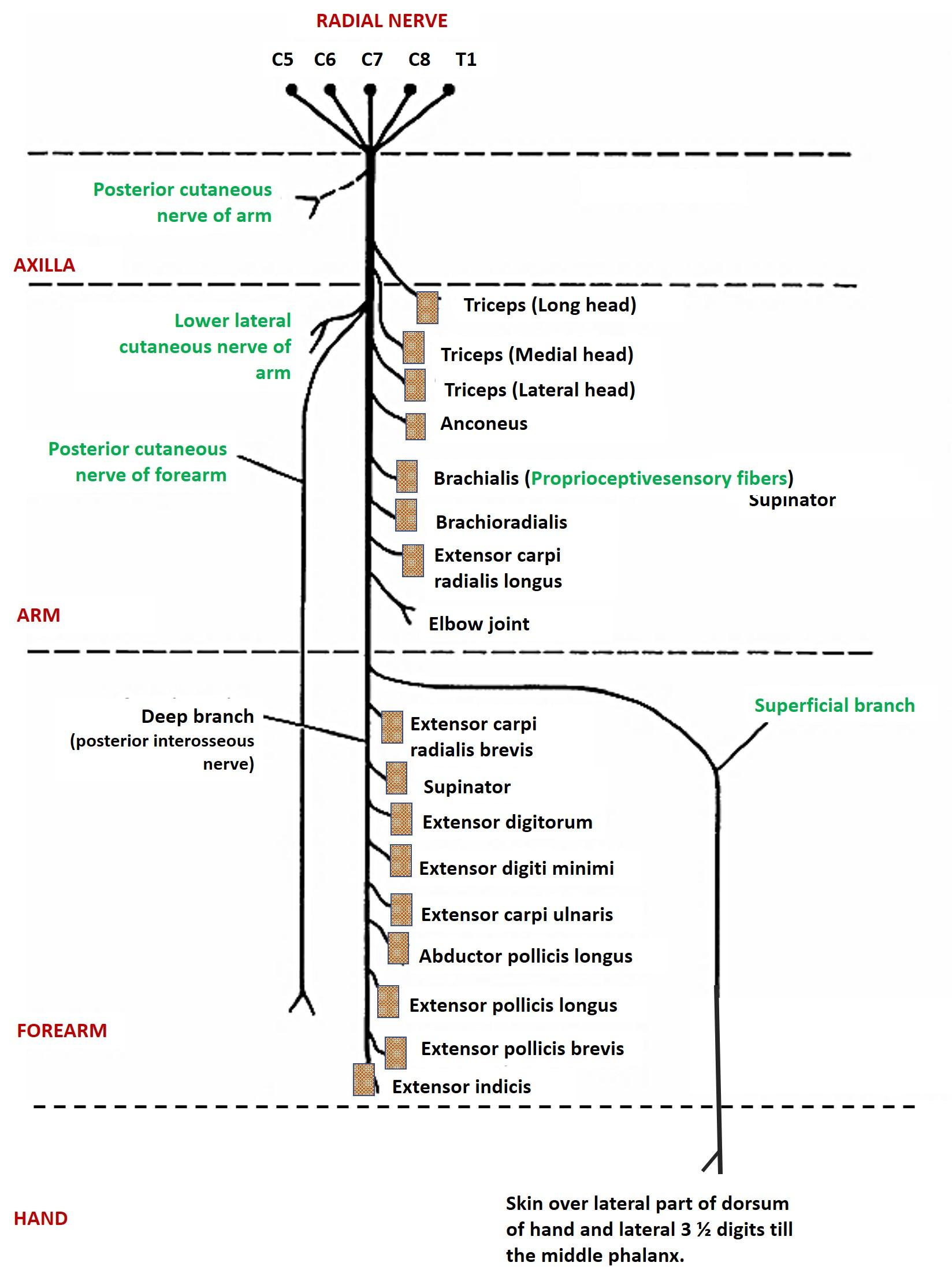 Radial Nerve Anatomy Qa