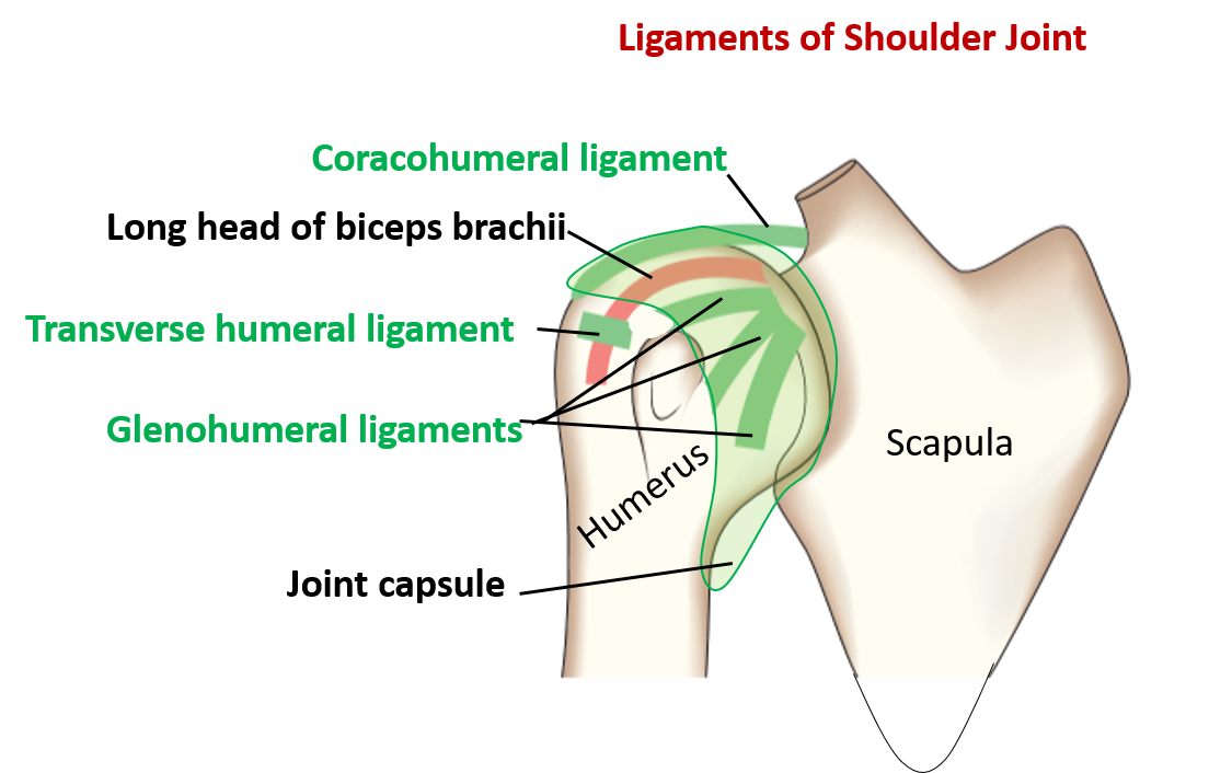 Shoulder joint diagram 8532180 - follow4more.info