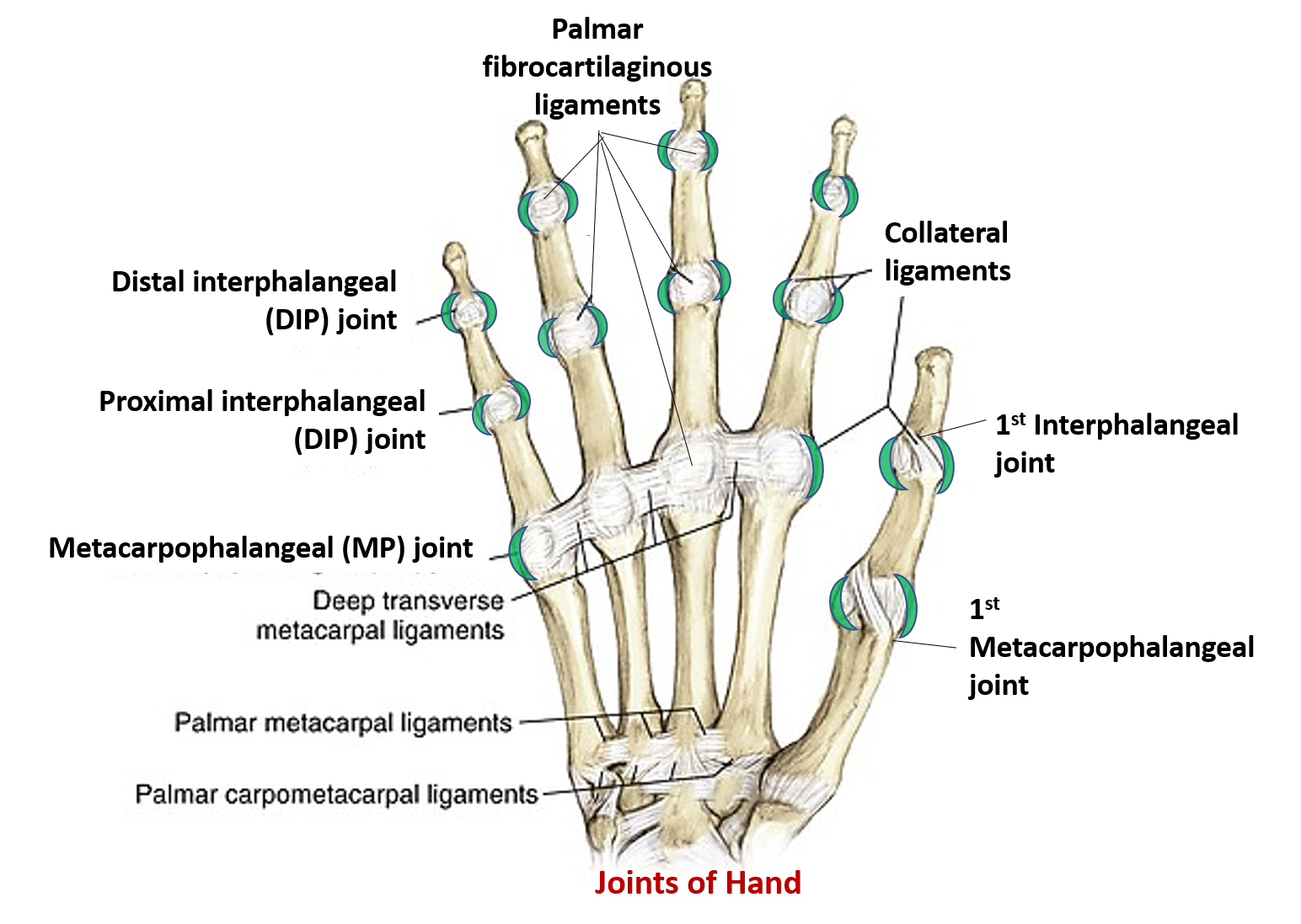 Pip joint anatomy 5942724 - follow4more.info