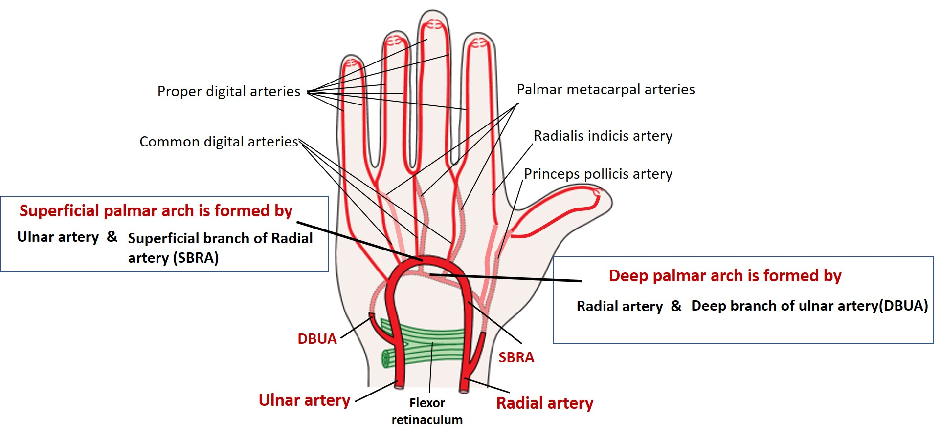 Hand - Anatomy QA