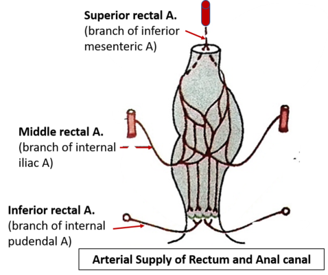 Perineum - Anal Canal - Anatomy QA