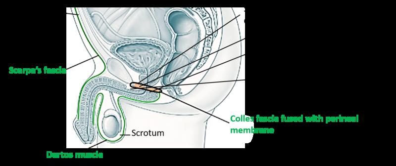 Perineum - Urogenital ...