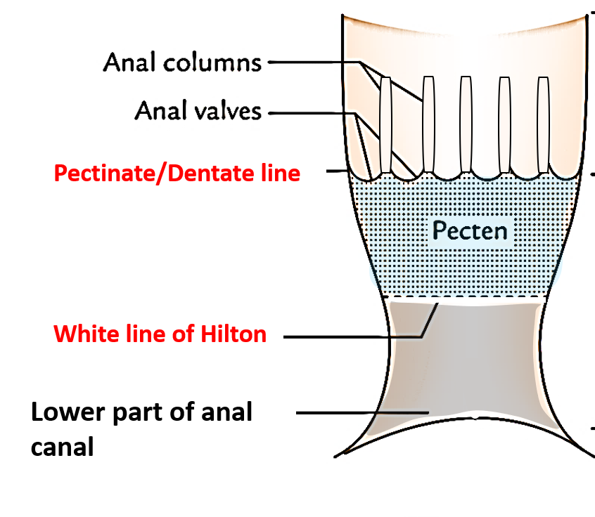 canal anal How is the deep