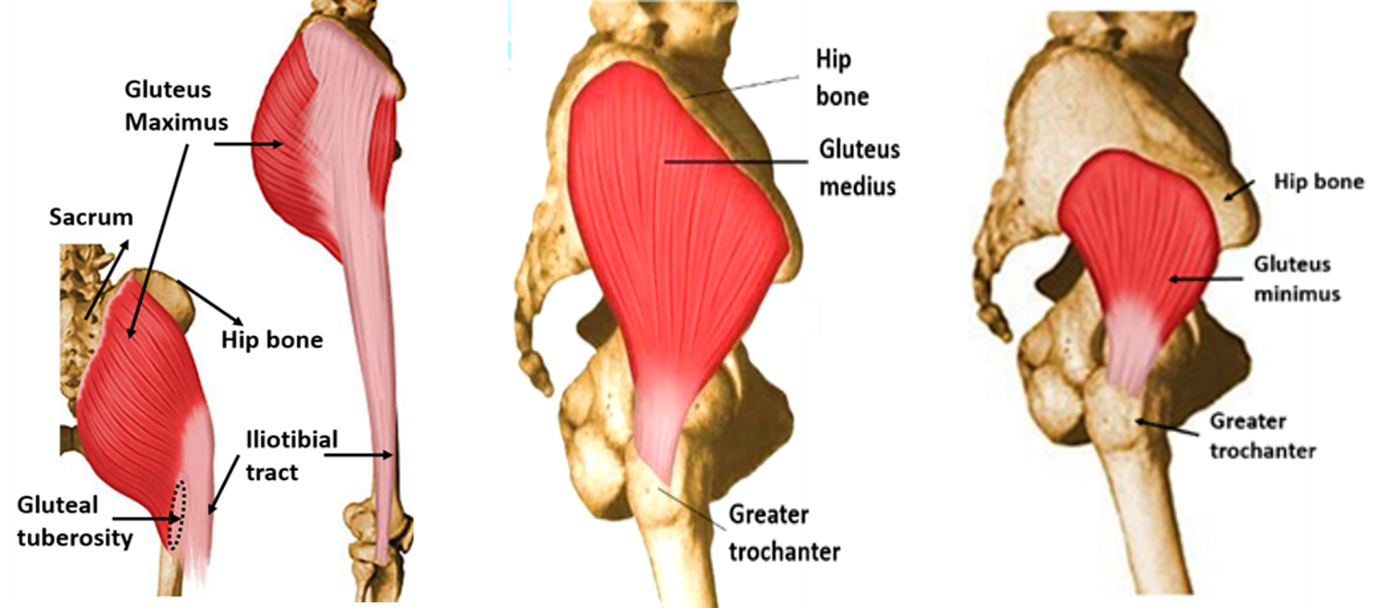All About Muscles Of Hip Bone And Spine Kidskunstfo