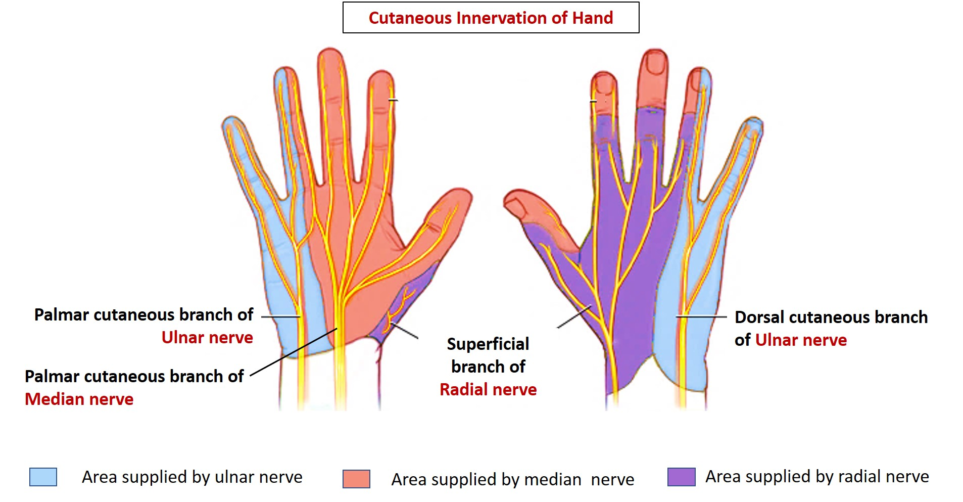 Cutaneous Innervation Of Hand Areas Supplied By Median Radial And