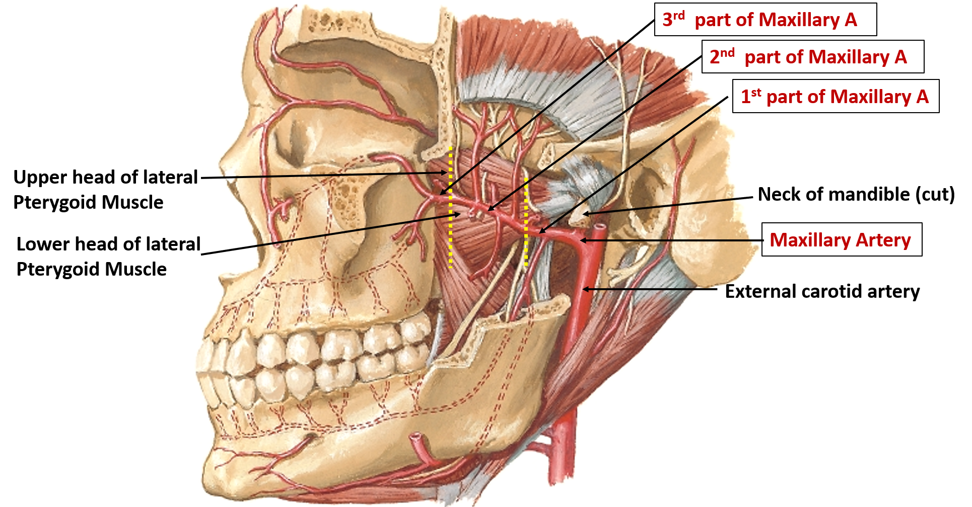 Maxillary Artery - Origin, Parts, Branches and Structures Supplied -