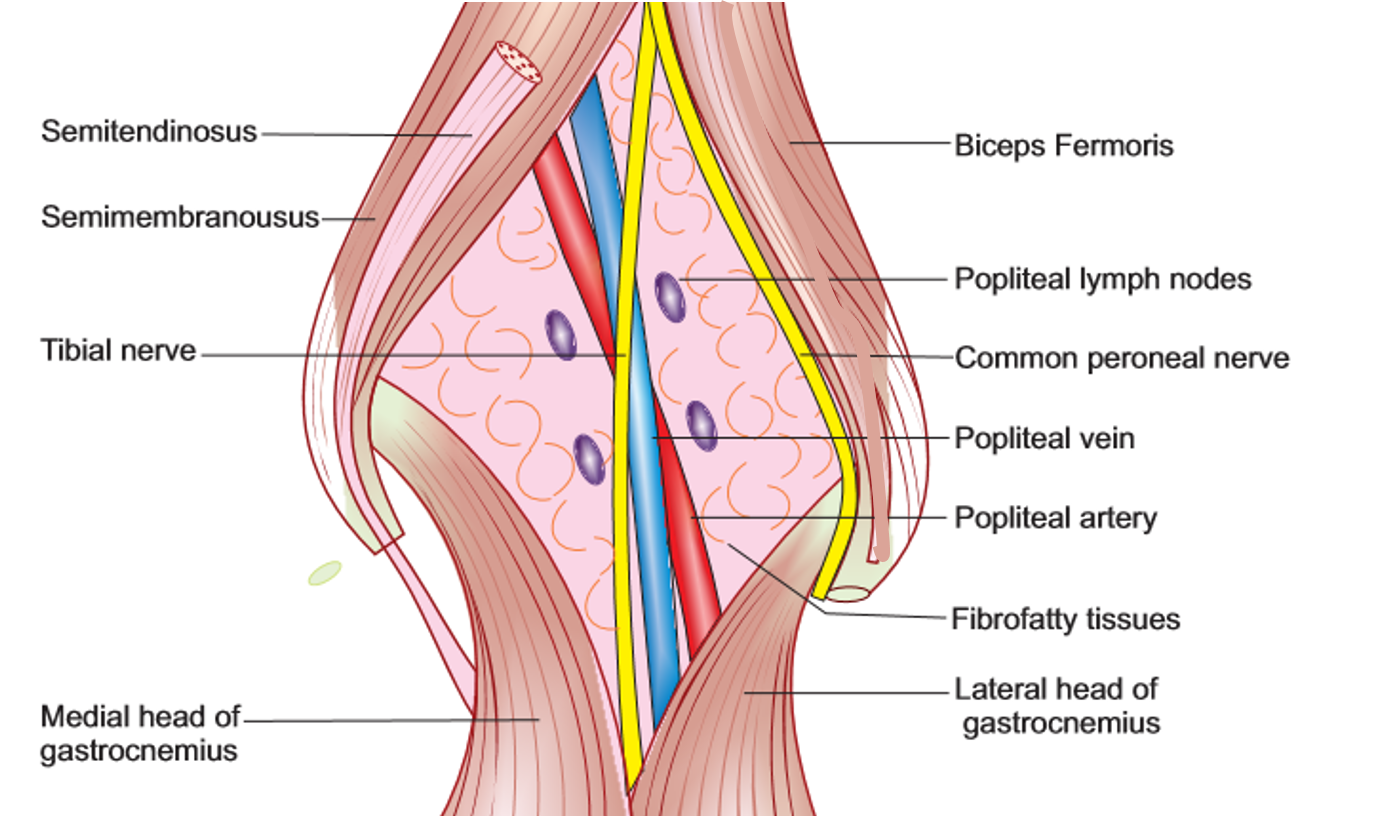 Popliteal Fossa Boundaries Contents And Applied Aspects