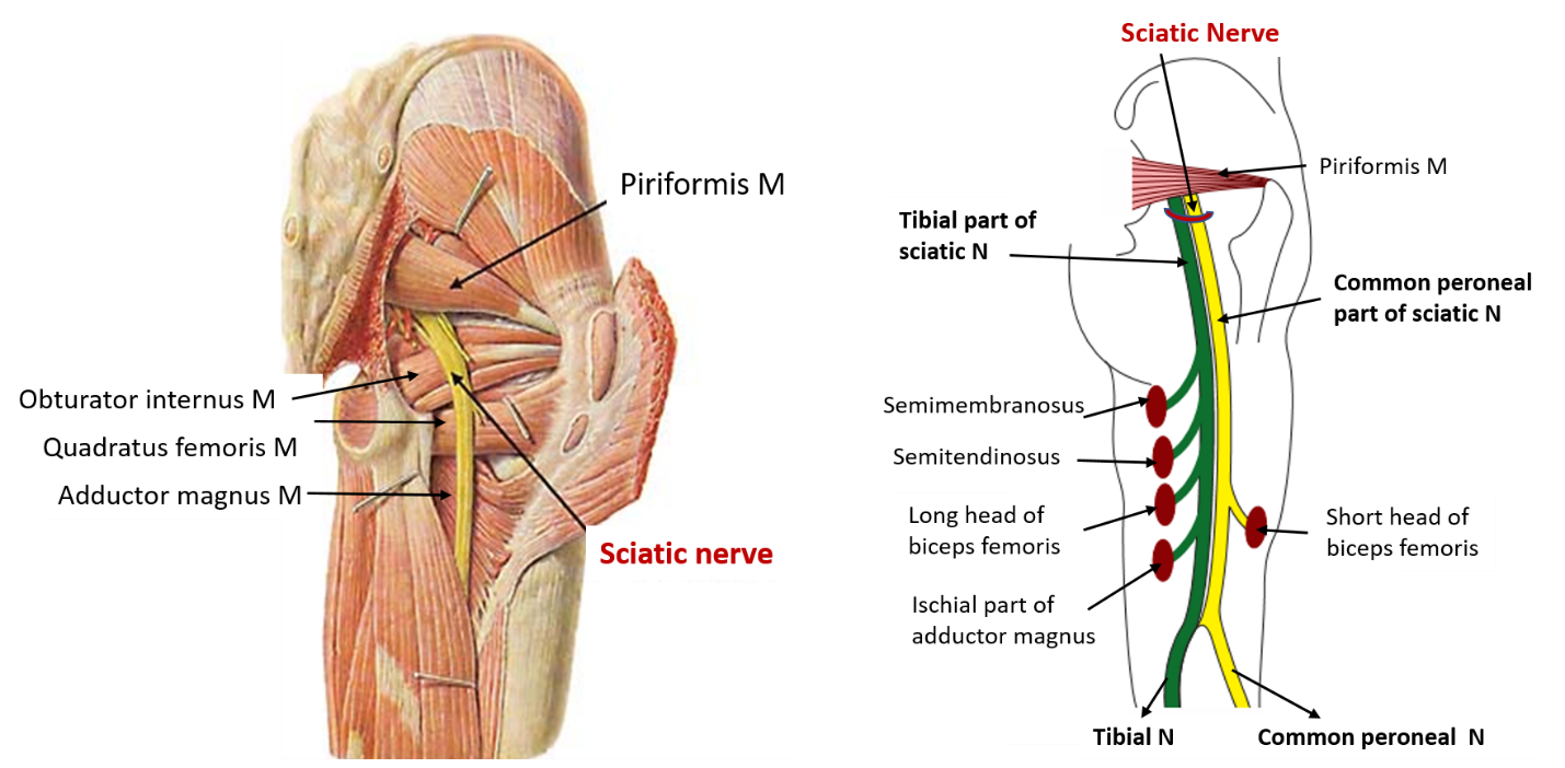 sciatic nerve   origin  root value  course   branches and