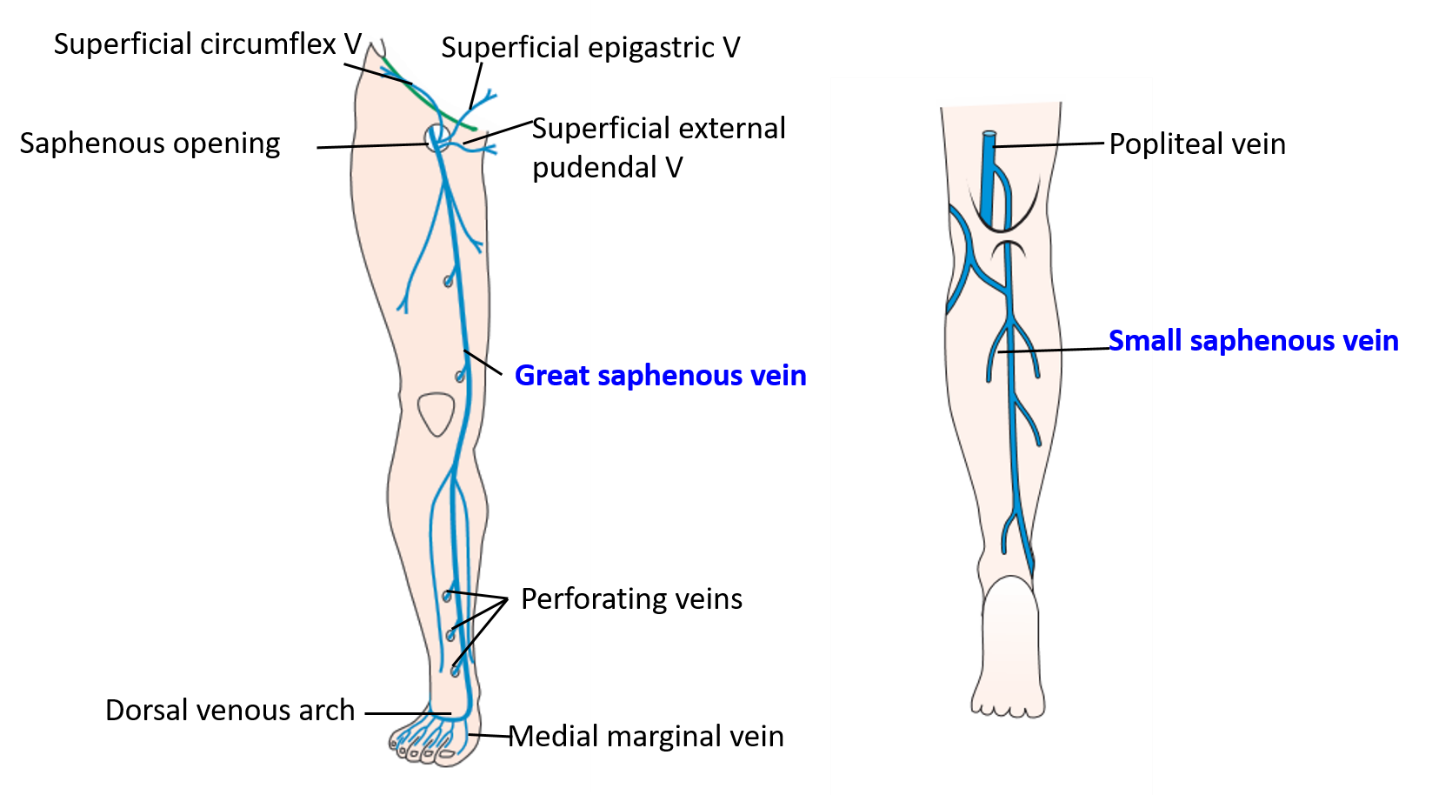 Veins Of Lower Limb Great And Small Saphenous Veins And Their