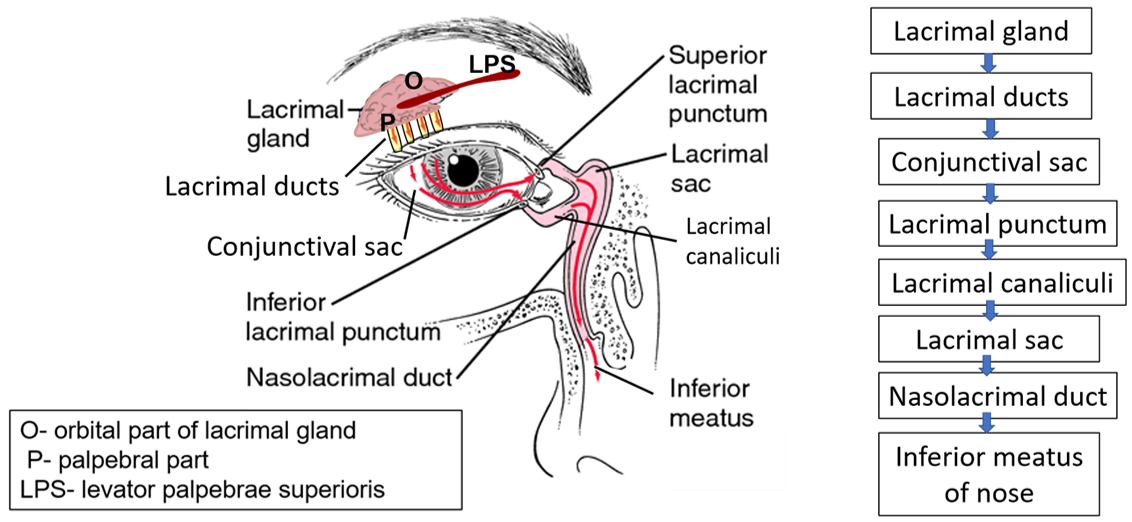 Lacrimal Apparatus -