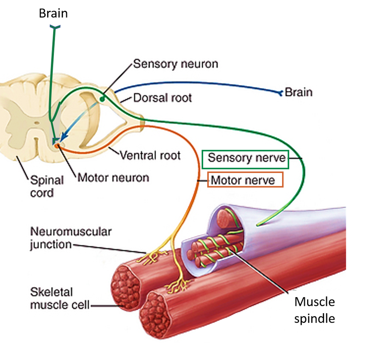 Skeletal Muscle Nerve Supply